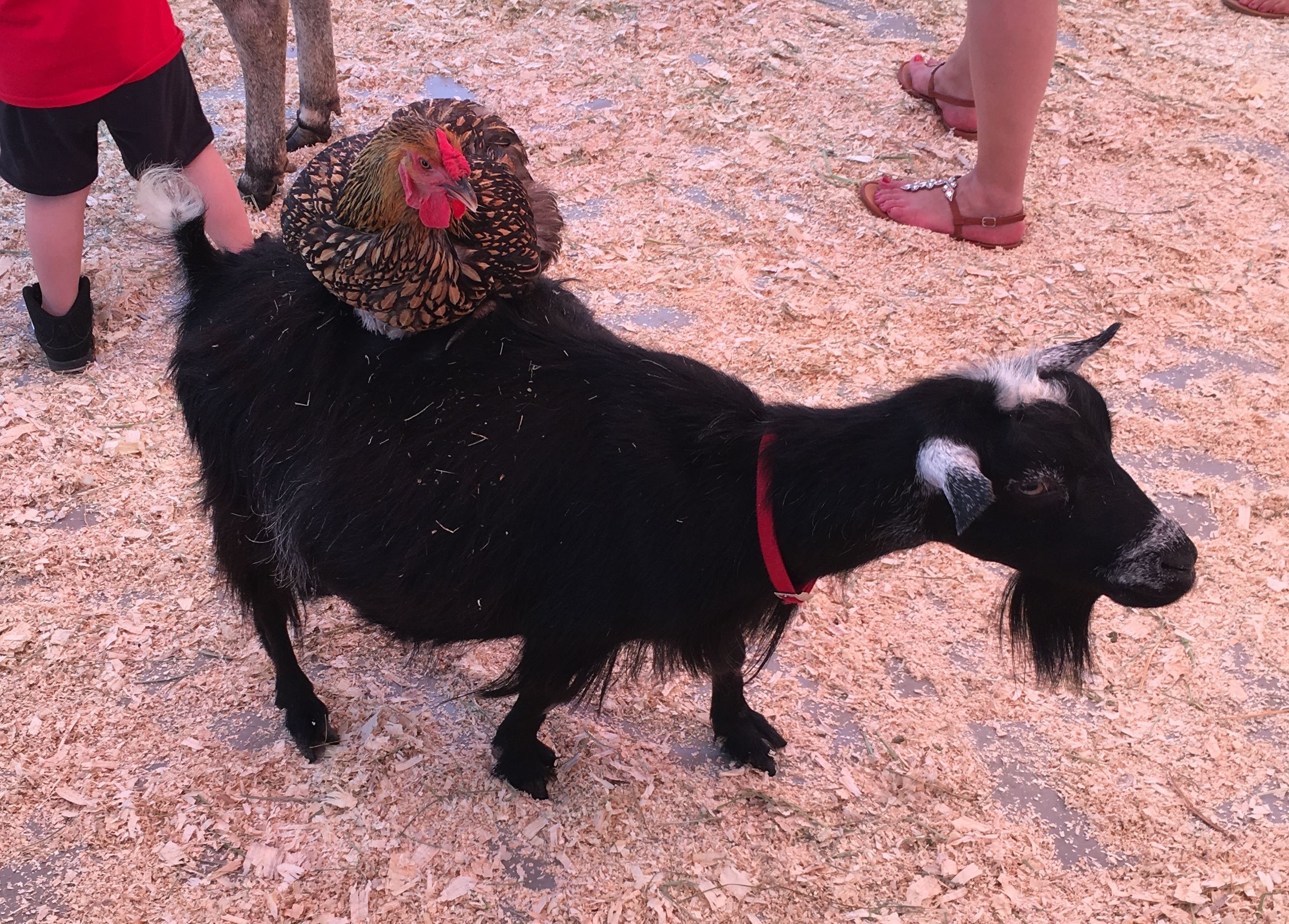 goat with chicken