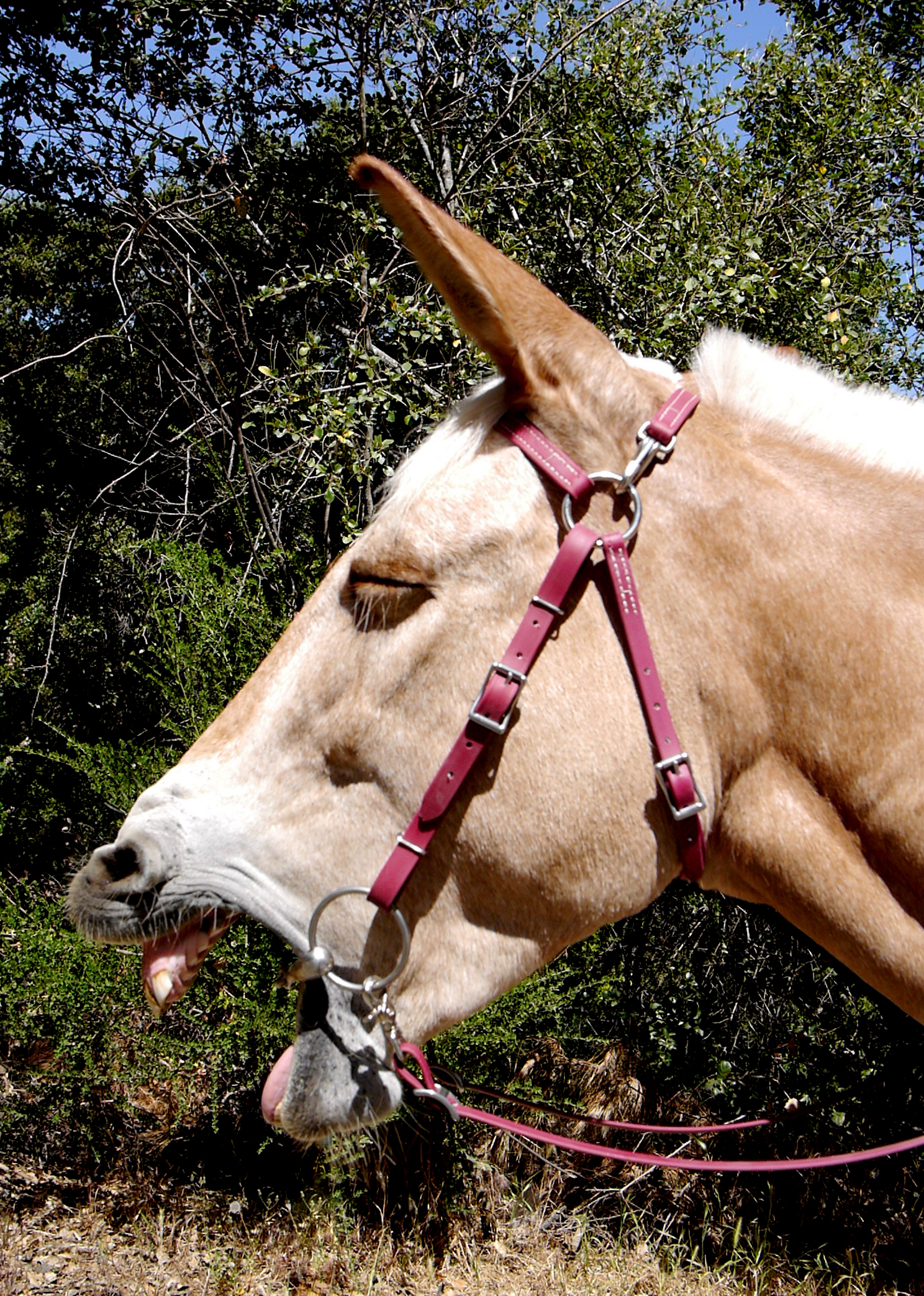 Two Horse Tack Mule Bridle